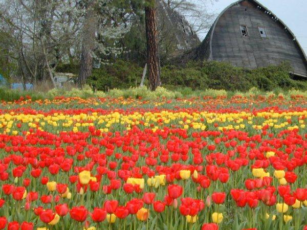 tulips-barn